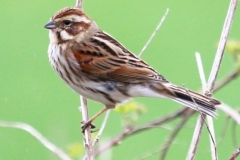 Reed Bunting (female) Blue Anchor foot path:Ian Hart
