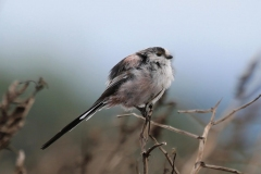 Long-tailed tit, Horner Wood:Ian Hart
