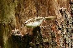Tree Creeper:Horner Wood: Ian Hart