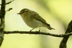Willow warbler, Horner Wood: Ian Hart