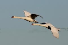 Mute Swans, Dunster Marsh; Ian Hart