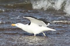 Great Black-backed gull, Blue Anchor Beach: Ian Hart