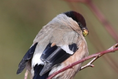Bullfinch (female), Horner Wood: Ian Hart