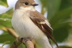 Pied Flycatcher (female), Horner Wood: Ian Hart