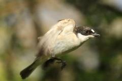 Pied Flycatcher (male), Horner Wood: Ian Hart