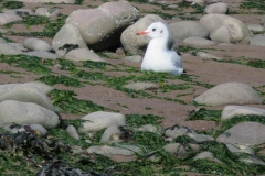 Black Headed Gull in winter plumage resting at Minehead Beach: Martina Slater