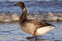 Brent Goose on Dunster Beach : Ian Hart