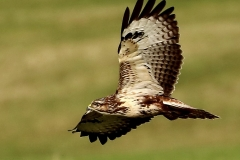 Buzzard near Lower Marsh Farm Dunster: John Rivoire