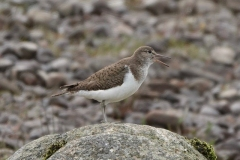 Common Sandpiper: This photo was not taken on Exmoor, but is Regular spring/autumn passage visitor. Sometimes winters. Ian Hart-sandpiper