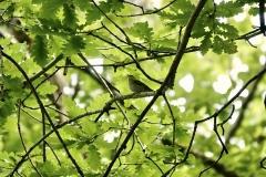 Claire Kenard: Wood warbler in Hawkcombe woods, Porlock