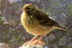 Martina Slater: Meadow Pipit at Hurlestone Point