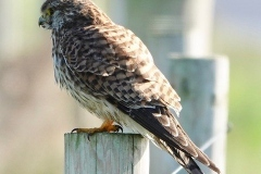 Female Kestrel: Ian Hart