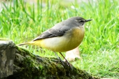 Grey Wagtail from Ian Hart