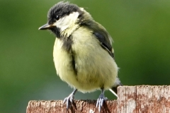Ian Hart: Great-Tit
