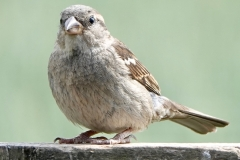 Ian Hart: House-Sparrow-female