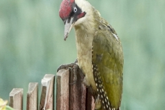 Ian Hart: Green Woodpecker on fence
