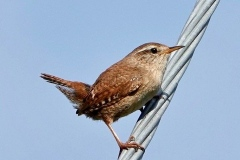 Wren taken in Dunster Park: Ian Hart