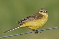 Ian Hart: Yellow Wagtail female