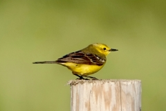 Ian Hart:  Yellow Wagtail male