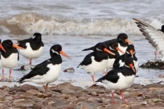 Oyster Catchers@lan Hart. Dunster Beach Nov 2020