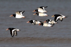 Oyster Catchers , Dunster-Beach: John Rivoire