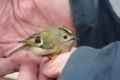 Stunned Male Goldcrest in Martina and David's garden after hitting a window.  He did recover!