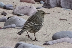 Rock-Pipit Dunster Beach: lan Hart