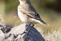 Wheatear, North Hill: lan  Hart