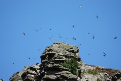 House martins in Valley of the Rocks by Ian Hart