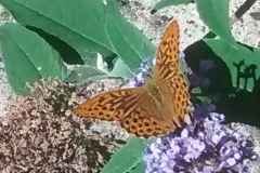 Sian Parry: Silver-washed fritillary
