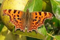 Vanessa Wolfman: Comma butterfly on pear tree