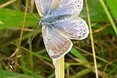 Faded Common blue butterfly by Vanessa Wolfman