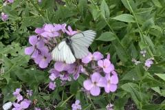 Black Veined White From Gavin Haig NOT found on Exmoor and was bred by Gavin in his wildlife garden in Devon.