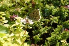 Common Blue Butterfly . Female on Marjoram: Martina Slater