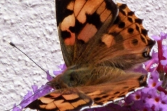 Sian Parry: Painted Lady butterfly