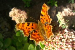 Annabel Campbell:  Comma Butterfly