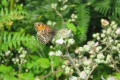 Grayling Butterfly Hipparchia semele: Martina Slater