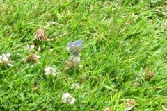 Common Blue butterfly: Martina Slater.