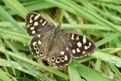Ian  Hart : Speckled Wood