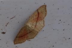 Maidens Blush moth: Martina Slater