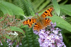 Comma butterfly at Luckbarrow by Martina Slater