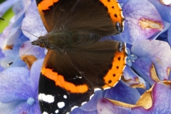 Red Admiral Butterfly at Luckbarrow by Martina Slater