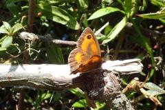 Gatekeeper butterfly possibly a male Pyronia tithonus: Martina Slater