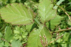Speckled Bush Cricket possibly a final instar before becoming an adult. Martina Slater