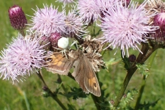 Meadow Brown butterfly being eaten by a female Flower Crab spider.  M Slater