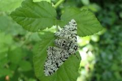 Peppered moth Biston betularia: Martina Slater