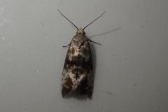 Eupoecilia angustana, micro moth : Martina Slater