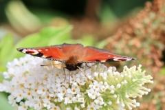 Peacock butterfly@lan Hart