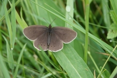 Ringlet: This photo was not taken on Exmoor, but shows what they look like and are common loally in Exmoor. Aphantopus hyperantus: Ian Hartl