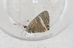 Long-Tailed Blue: Found by Ruth, photo by Andy Pym